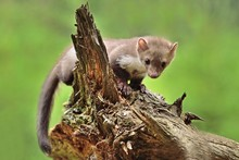 Stone Marten On The Stump In C...