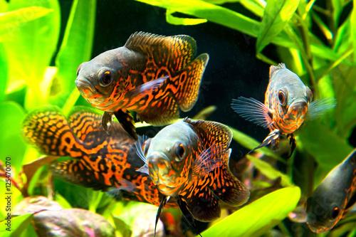 Papiers peints Recifs coralliens Oscar fish