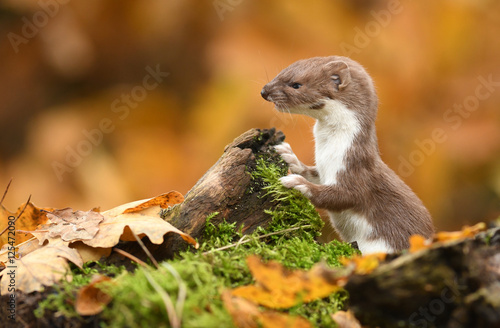 Photo  Weasel in autumn forest