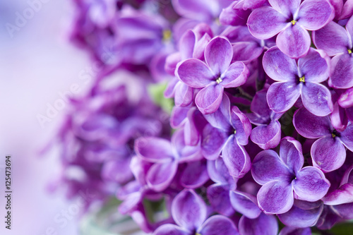 Blooming lilac flowers. Macro photo.