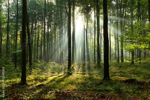 Fototapety powiększające wnętrze  morning-in-the-forest