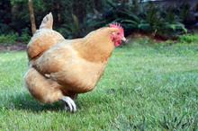 Golden Chicken Running Across Green Grass