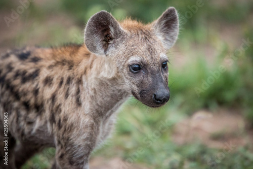 In de dag Hyena Starring young Spotted hyena.