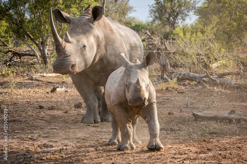 Fotografia, Obraz  Baby White rhino with his mother.