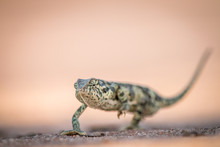 Flap-necked Chameleon Walking ...