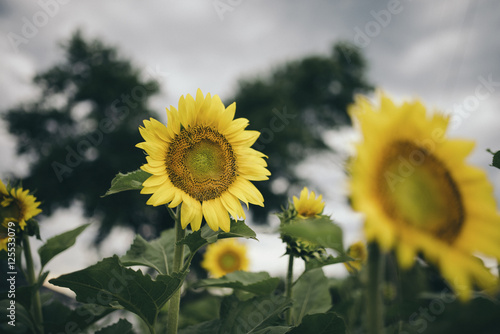 Sunflowers farm against sky during sunset