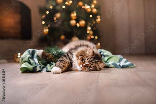 Photo  Tabby and happy cat. Christmas season 2017, new year