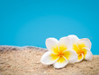 Two plumeria flowers on pastel background