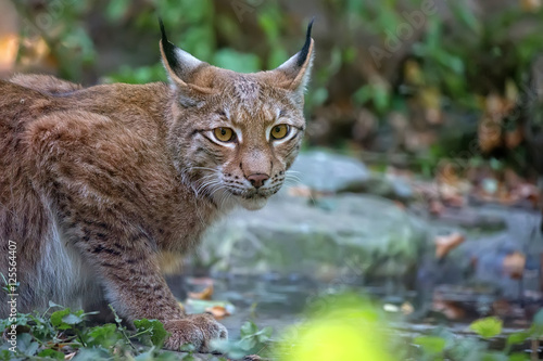 Foto op Canvas Lynx Lynx in the forest, a portrait