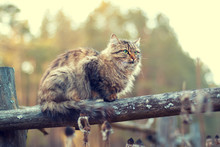 Siberian Cat Sitting On A Wooden Fence