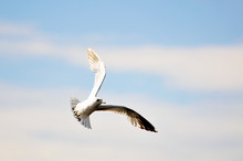 Seagull In The Blue Sky With C...