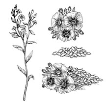 Hand Drawn Flax Flowers And Seeds.