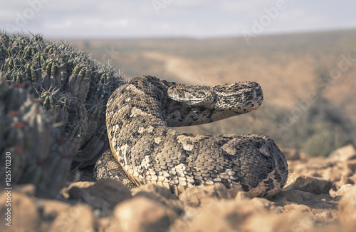 Photo  large puff adder (Bitis arietans) beside cactus in Morocco