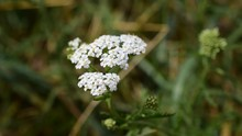 Achillea Millefolium, Commonly Known As Yarrow, Milfoil Or Common Yarrow, Is A Flowering Plant In The Family Asteraceae Widely Used As A Medicinal Herb