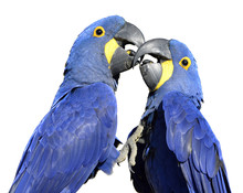 Two Hyacinth Macaws (Anodorhynchus Hyacinthinus) Kissing Isolated On White Background
