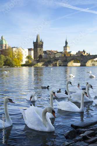 Staande foto Praag Swans and riverbank of Vltava river, Prague, Czech Republic / Czechia - birds in the water. Charles bridge and Old Town Bridge Tower in the background.