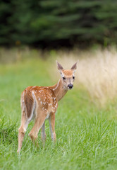 White-tailed deer fawn in the meadow
