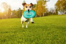 Adorable Small Dog Jack Russel...