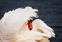 Shy Swan. White Swan Bird Hiding Face Behind The Wing.
