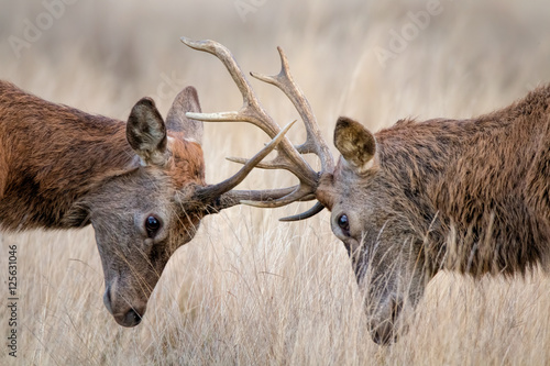 Canvas Print Deer Rutting. Animals fighting mating season.