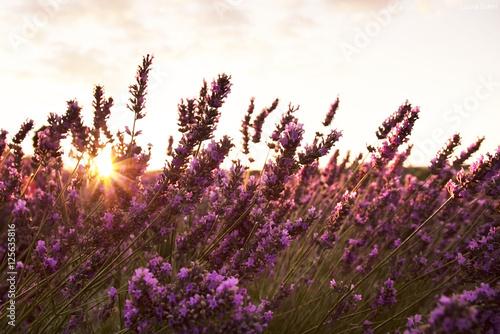 Fotografie, Obraz  Campo di fiori di lavanda illuminati dai raggi del sole al tramonto