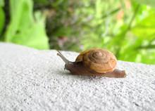 Close-up Little Snail Walking On White Wall In Backyard