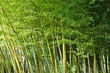 canvas print picture Lush green bamboo