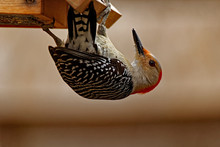 Red-Bellied Woodpecker On A Su...