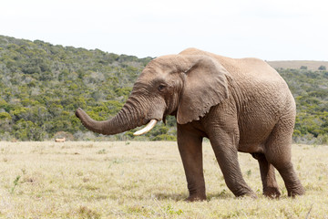 Bush Elephant showing direction with his trunk