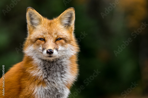 Red Fox - Vulpes vulpes, close-up portrait with bokeh of pine trees in the background Wallpaper Mural