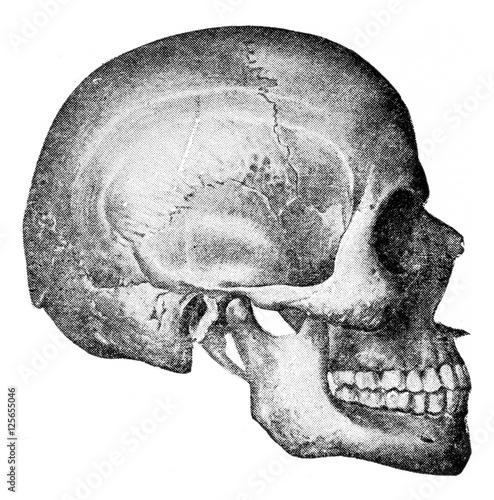 Fotografie, Obraz  Side view of skull, vintage engraving.