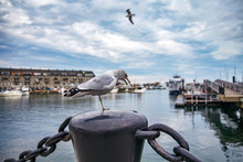 One Legged Seagull In Harbor. ...
