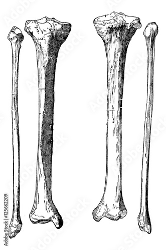 Fotografie, Obraz  Leg Bones, vintage engraving