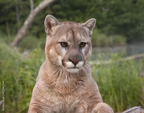 Staande foto Puma Mountain Lion Head Shot