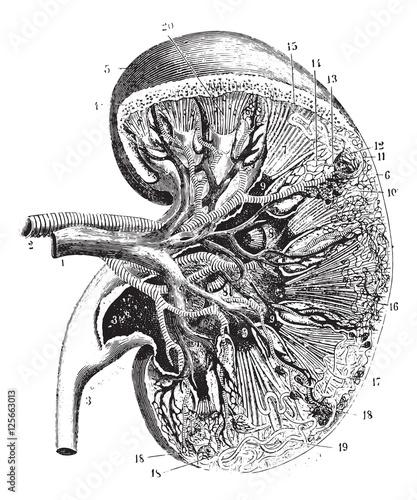 Fotografie, Obraz  Kidney section, vintage engraving.