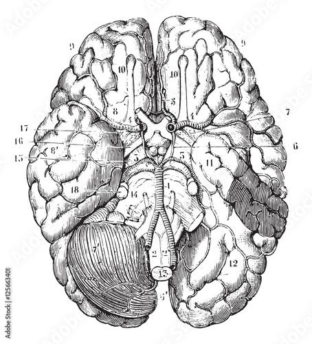 Obraz na plátně  Base of the brain, vintage engraving.