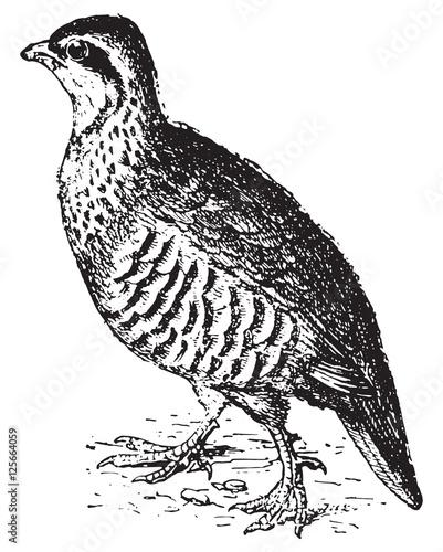 Carta da parati Partridge, vintage engraving.