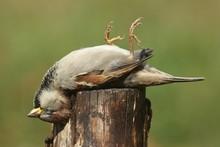 Dead House Sparrow (Passer Dom...