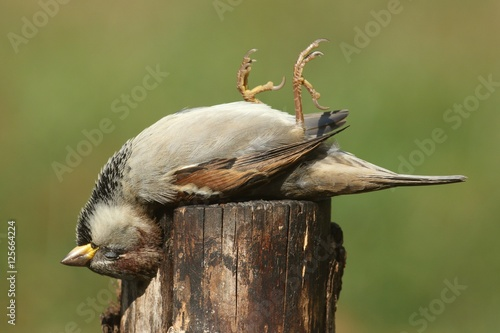 Sticker - Dead House Sparrow (Passer domesticus)