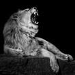 African Lion III