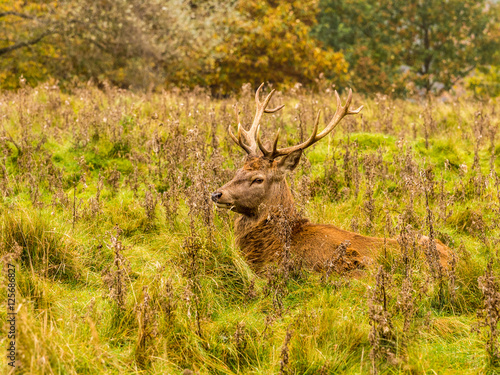 Poster Hert Red deer stag withg large antlers during the rutting season at Tatton Park, Knutsford, Cheshire, UK