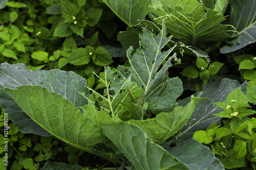 Fotografie, Obraz  Damaged cabbage,