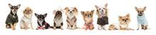 Group Of Nine Cute Chihuahua D...
