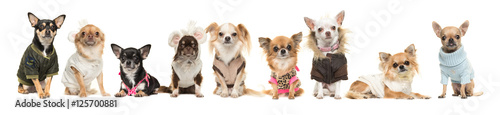 Group of nine cute chihuahua dogs wearing clothes isolated on a white background Wallpaper Mural