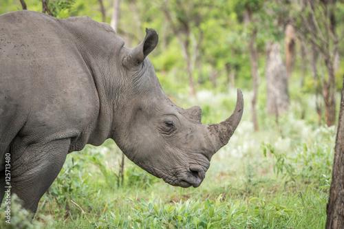 Spoed Foto op Canvas Neushoorn Side profile of a White rhino.