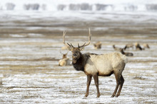 Elk Or Wapiti (Cervus Canadensis) In The Snow, Looking At Camera, National Elk Refuge, Jackson, Wyoming, USA