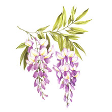 Branch Of Wisteria. Hand Draw Watercolor Illustration