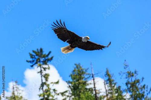 Poster Aigle Bald eagle, Alaska.
