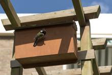 Tomtit Enters Nest Box