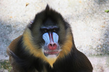 Portrait Of Mandrill, Big Monkey With Dark Olive Green Fur With Yellow And Black Bands. Red Nose, Huge Nostrils, Blue Stripes, Orange Beard.